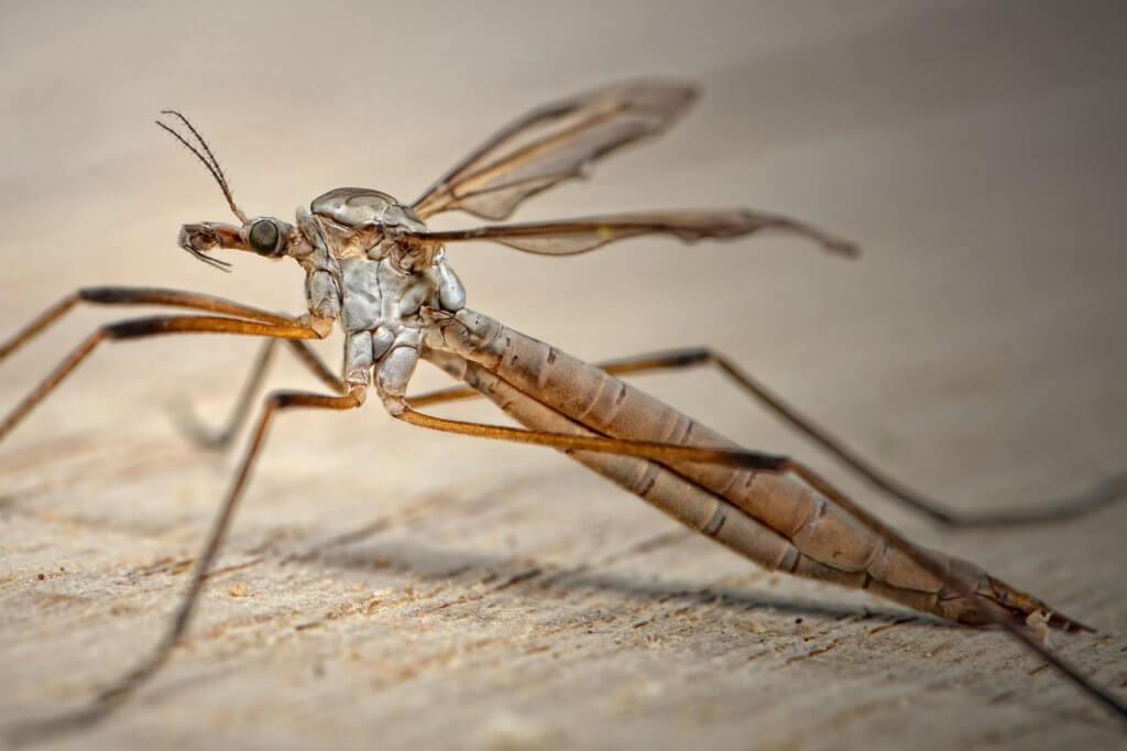 Stechmücken, Insektenschutz, Mückenatlas
