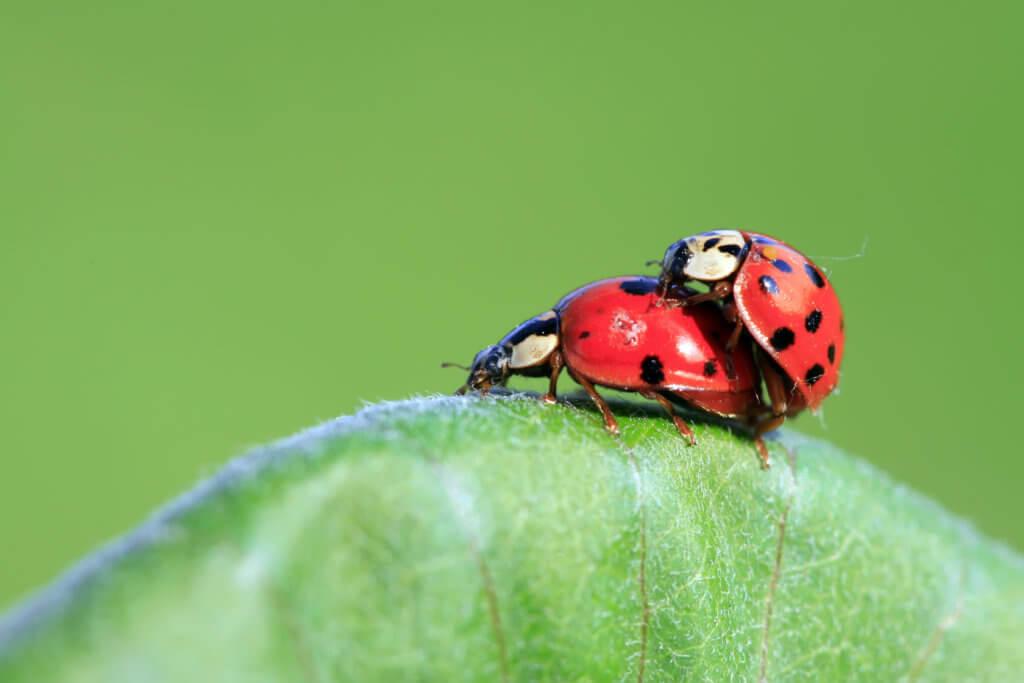 Reproduktion, Asiatische Marienkäfer, Fortpflanzung