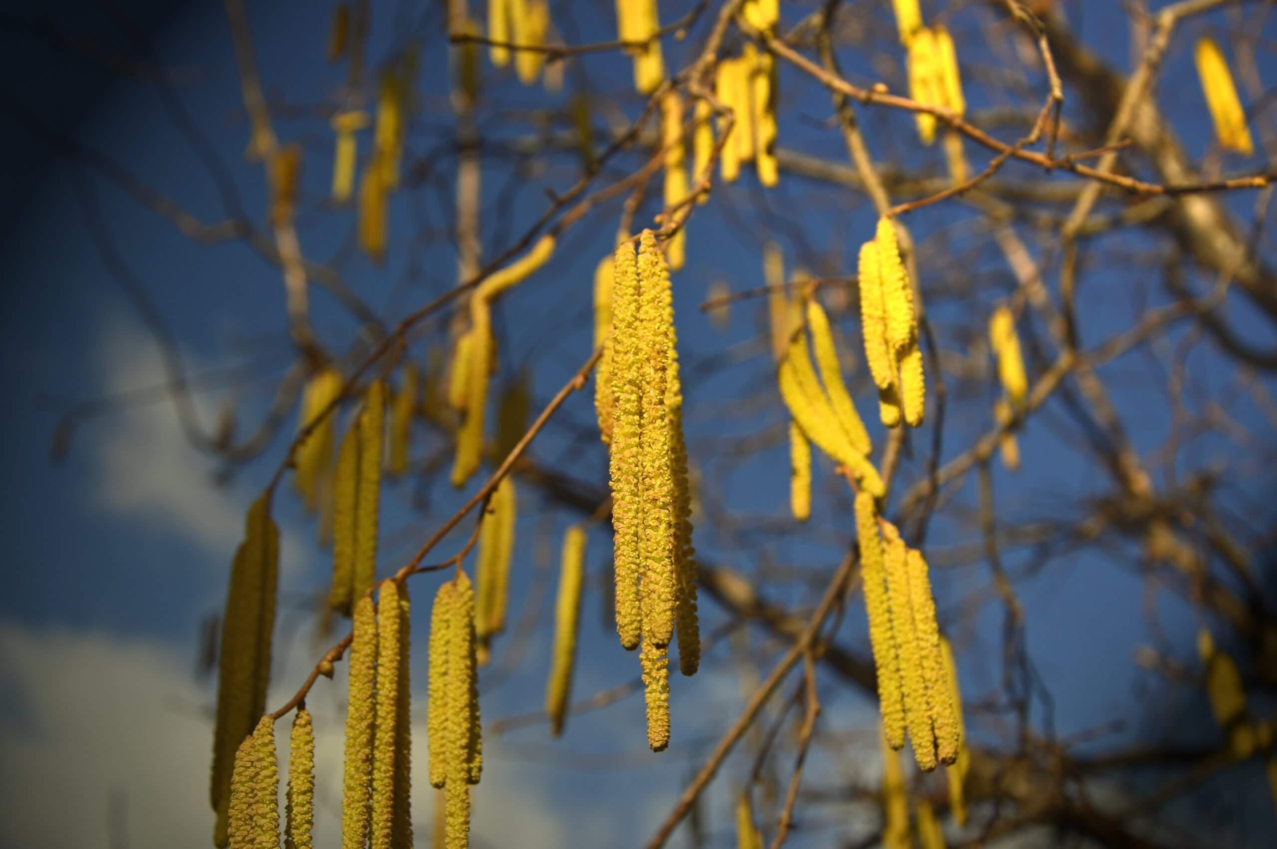 pollenschutz-haselnuss-pollen-210112